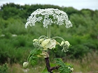 "Stock photo gallery of Giant Hogweed Plant (Heracleum mantegazzianum) also known as the ""cartwheel flower"", "" common hemlock"", ""giant cow parsnip, an aggressive invasive non-native species classed as a weed or superweed.  www.jakphoto.co.uk, John Kelly Photography (UK)"