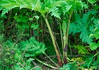 "Giant hogweed Plant Stalk and Leaves (Heracleum mantegazzianum) also known as the ""cartwheel flower"", "" common hemlock"", ""giant cow parsnip, www.jakphoto.co.uk, John Kelly Photography (UK)"